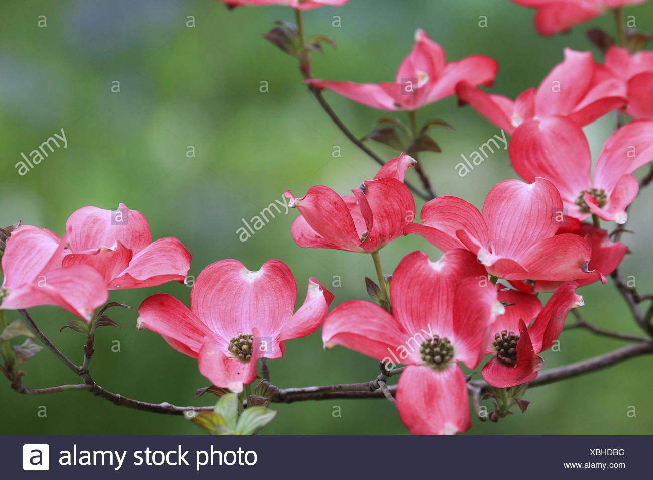 Pink Flowers Of Flowering Dogwood Stock Photos Pink Flowers Of