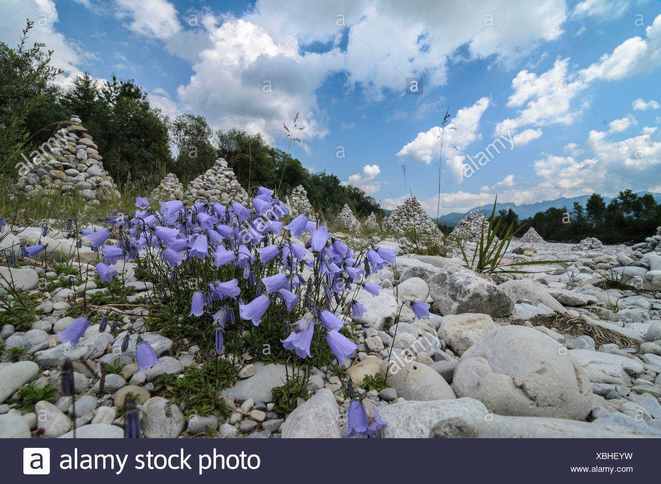 Bellflowers (Campanula sp.), and cairns on the banks of the Isar river, Bavaria - Stock Image