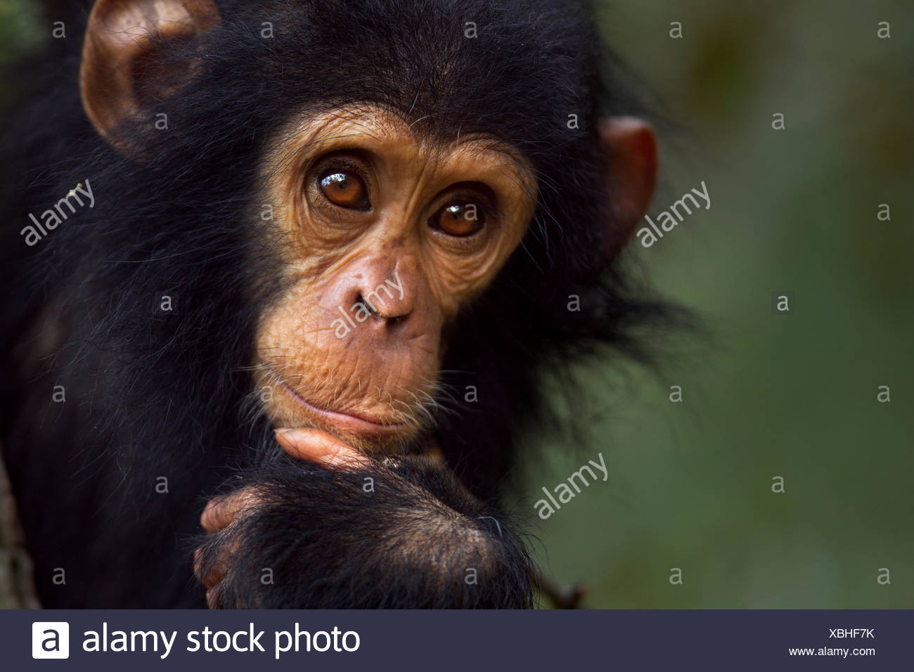 Eastern chimpanzee (Pan troglodytes schweinfurtheii) male baby 'Gizmo' aged 1-2 years portrait. Gombe National Park, Tanzania. - Stock Image