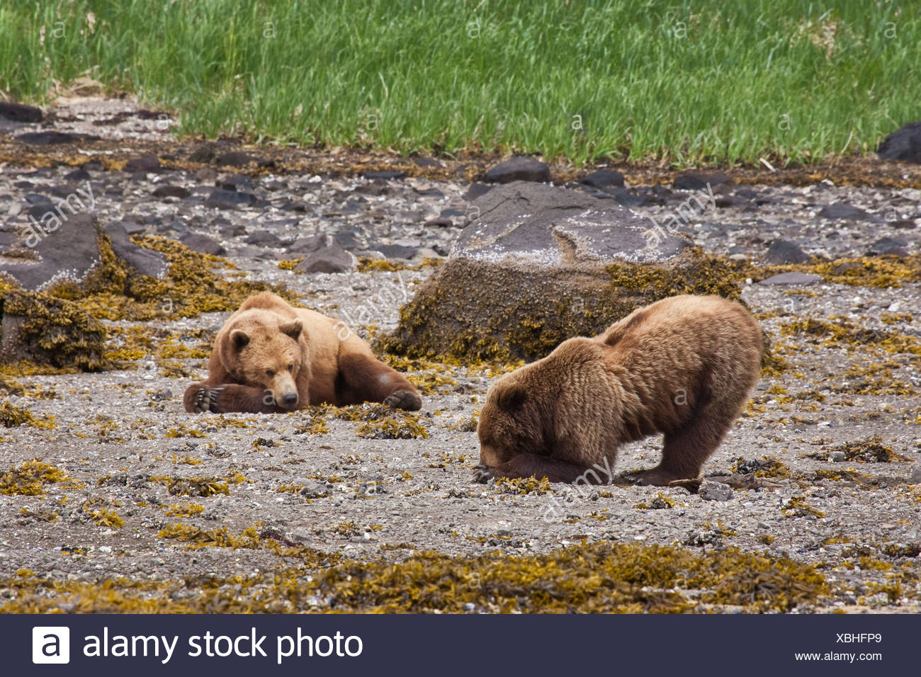 Brown bear digs for clams  while a second bear rests on the beach, Geographic Harbor, Katmai National Park, Southwest Alaska - Stock Image