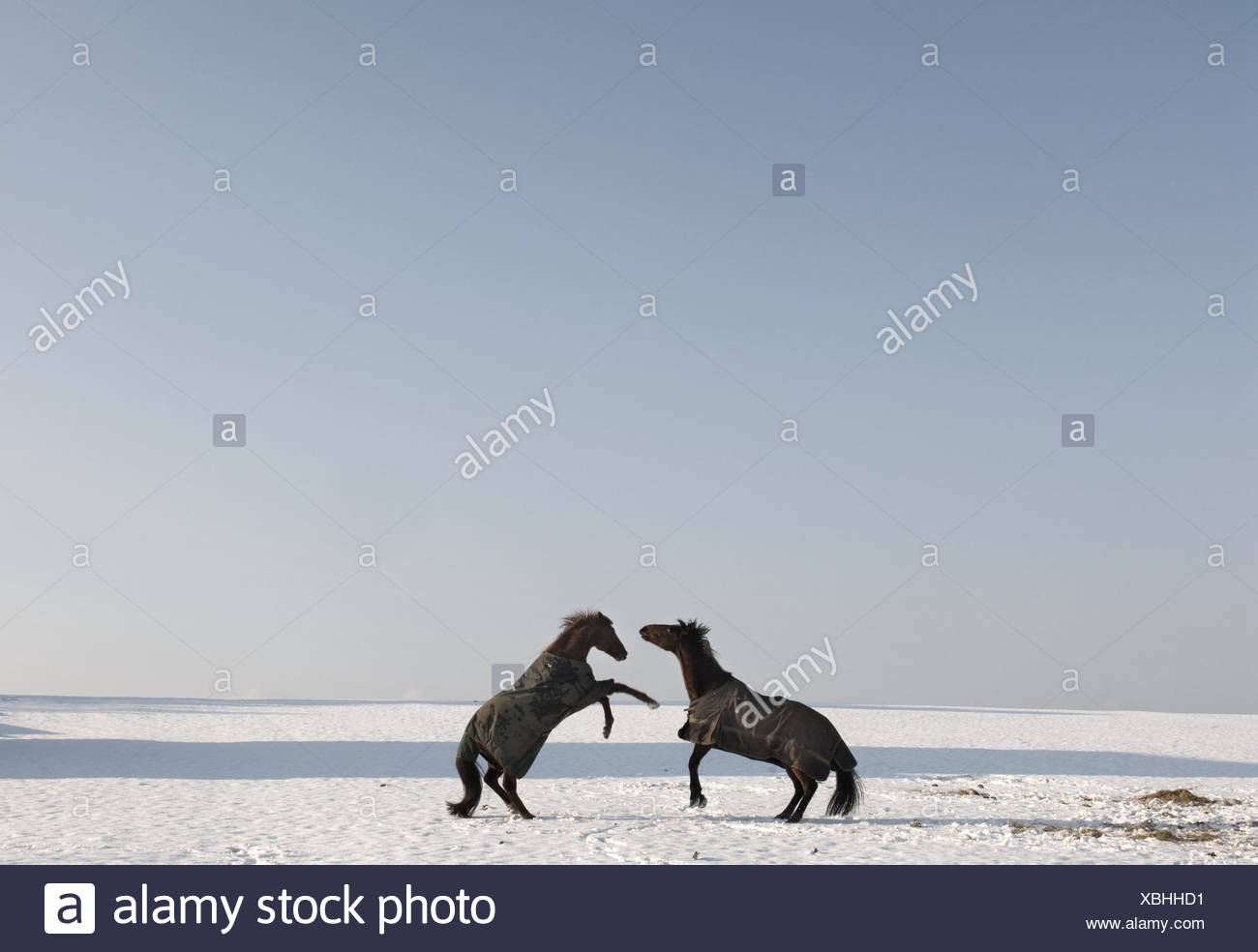 Two horses rearing in snow - Stock Image