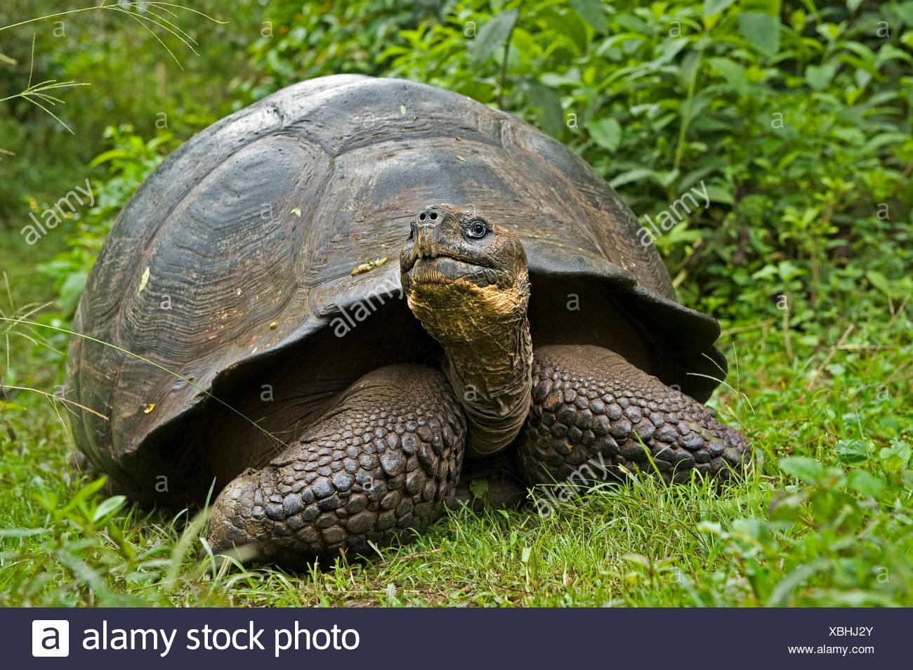 Galapagos giant tortoise (Geochelone elephantopus / nigra) adult in habitat, Santa Cruz, Galapagos. Endangered species. - Stock Image