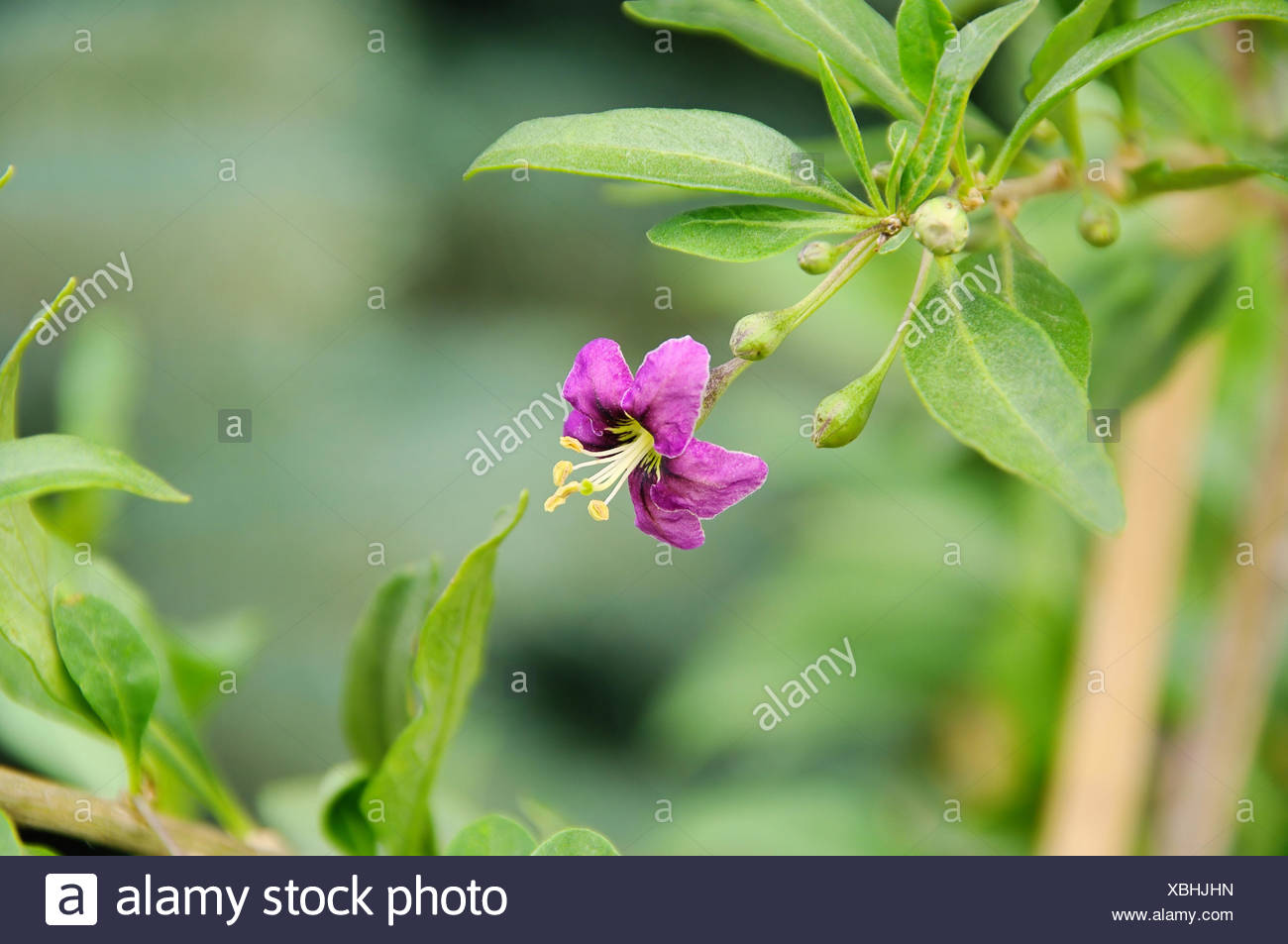 Goji Bloom Goji Berry Flower 01 Stock Photo Alamy