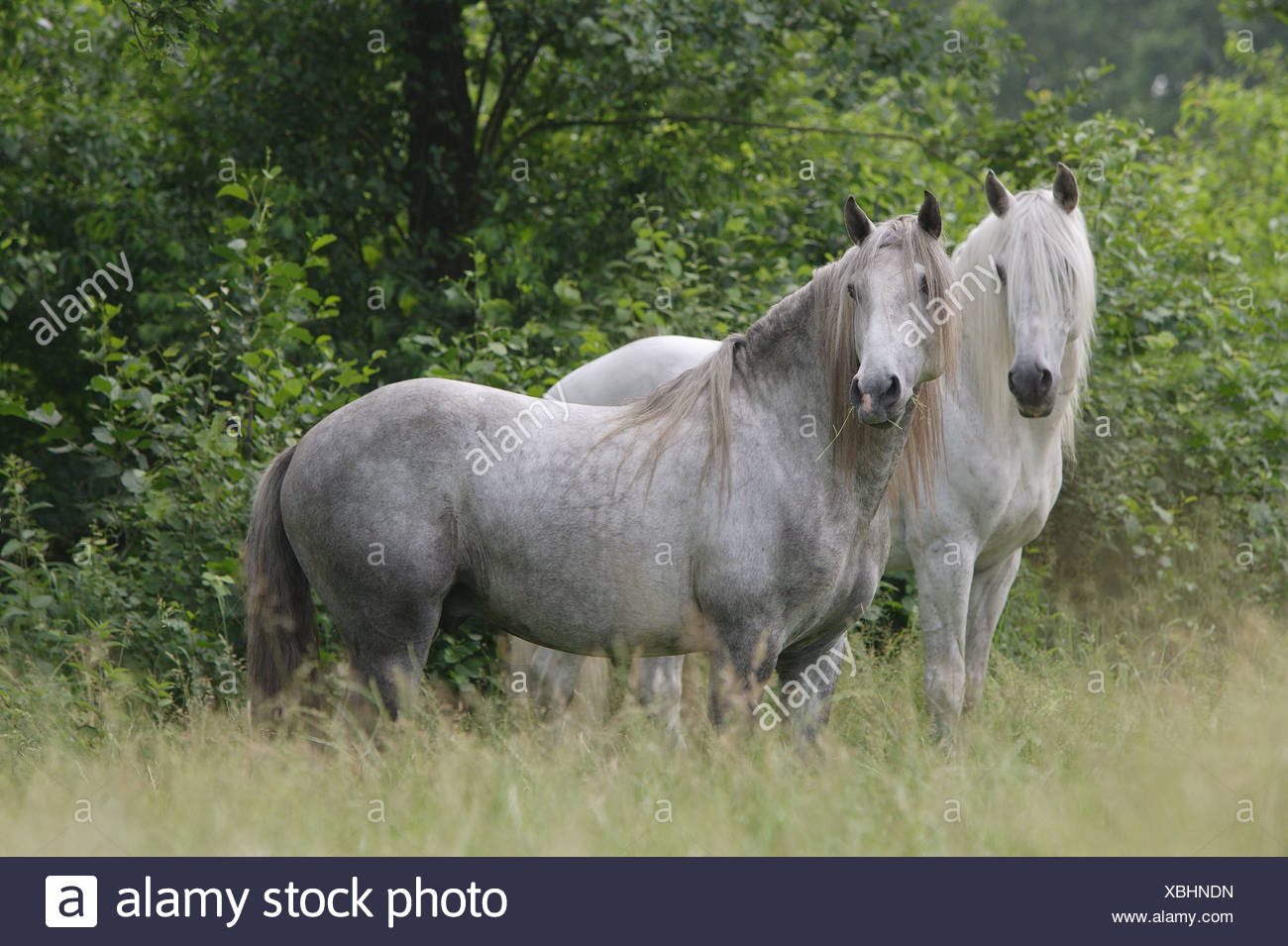 two Lusitanos - standing on meadow - Stock Image