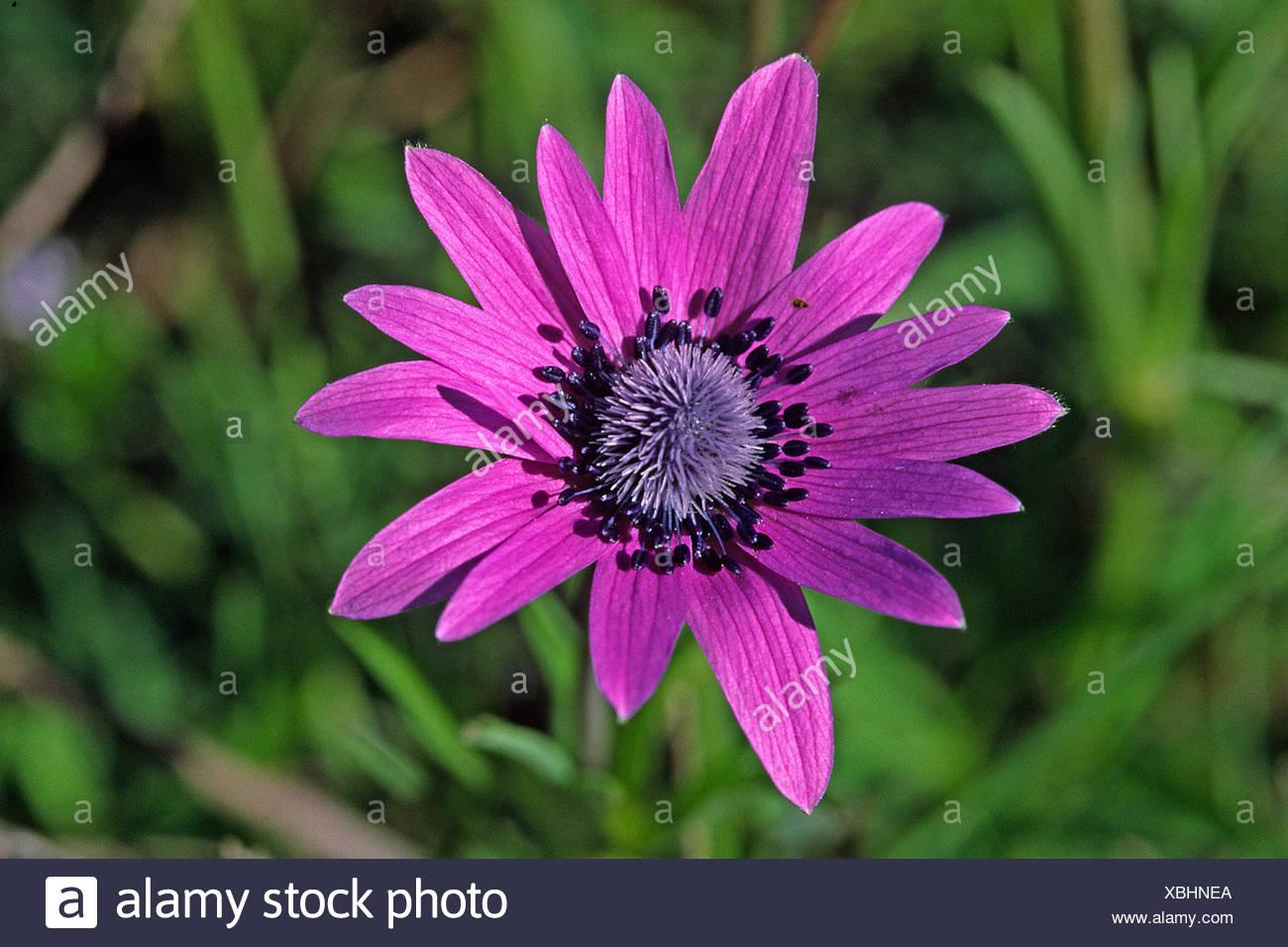 garden ornamental plants rot red anemone hortensis stern-anemone sternanemone Stock Photo