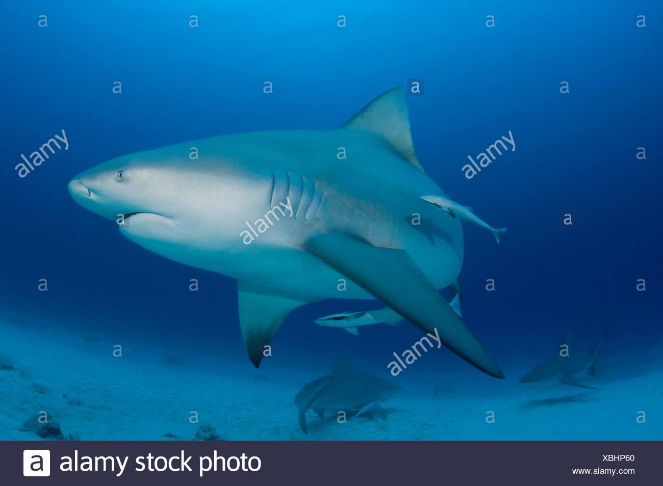 Female Bull sharks (Carcharhinus leucas) in seasonal breeding aggregation with Sharksuckers (Echeneis naucrates) Playa del Carmen, Cancun, Quintana Roo, Yucatan Peninsula, Mexico (Caribbean Sea) - Stock Image