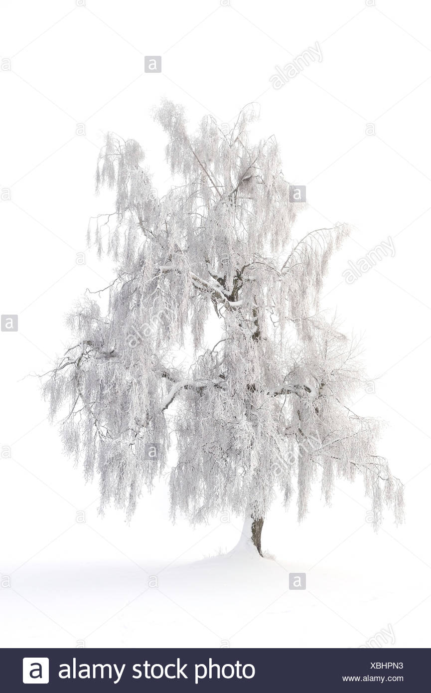 European Larch (Larix decidua), winter landscape, Swabian Alb, Baden-Wuerttemberg, Germany, Europe - Stock Image