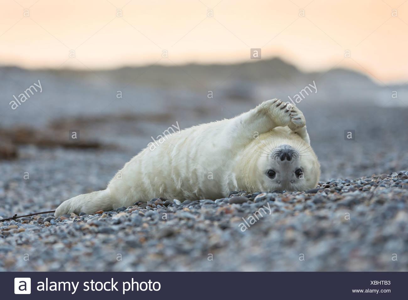 juvenile grey seal, halichoerus grypus Stock Photo