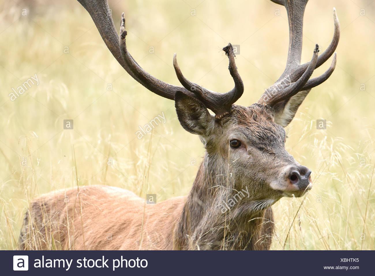 Deer rut - Stock Image