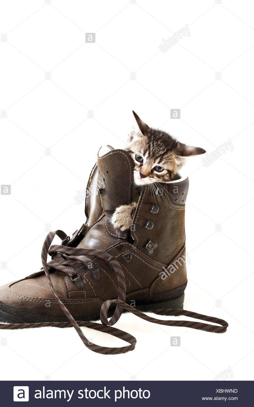 Kitten in a shoe, 5 weeks old - Stock Image