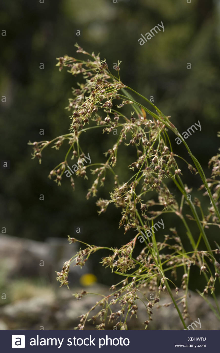 wood-rush, luzula lutea - Stock Image
