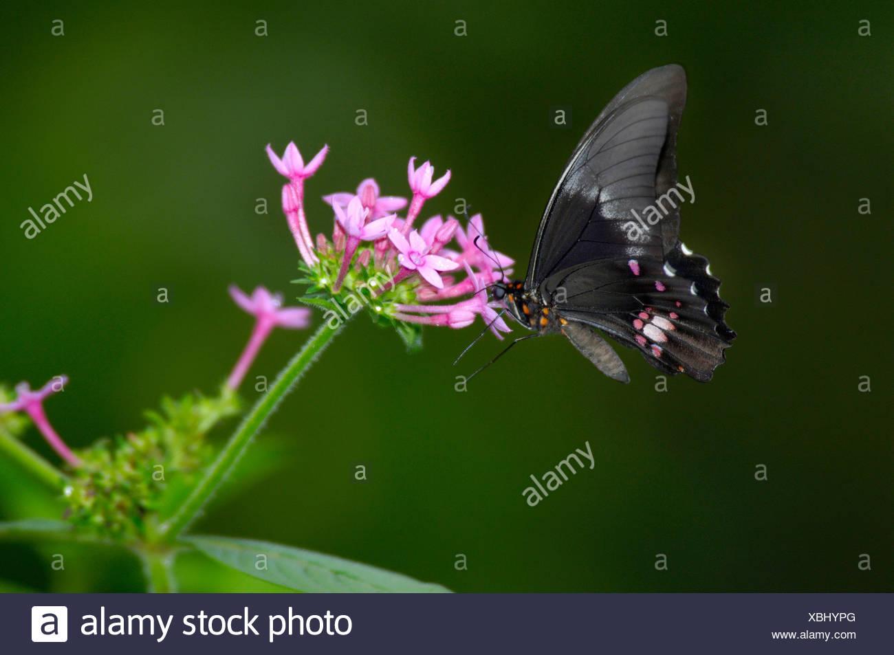butterfly blossom flourish Parque das aves Foz do Iguazu Iguacu Iguassu Falls Parana Brazil - Stock Image