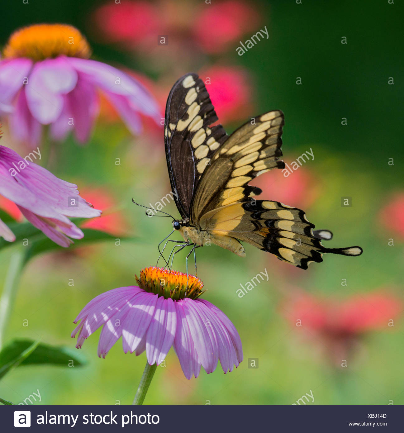Giant Swallowtail butterfly, Papilio cresphontes, on a purple cone flower, north eastern Ontario, Canada - Stock Image
