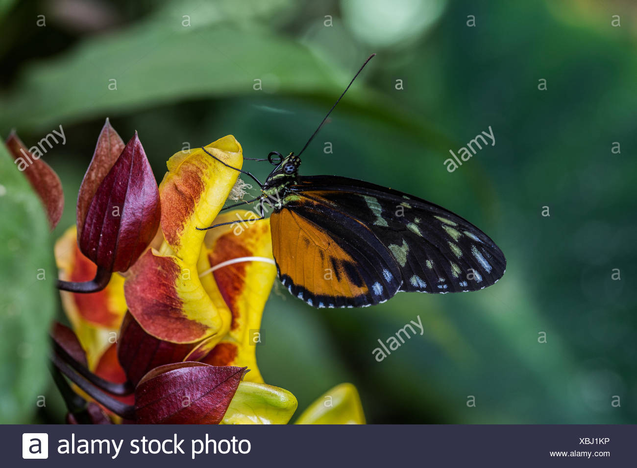 golden longwing on flower - Stock Image