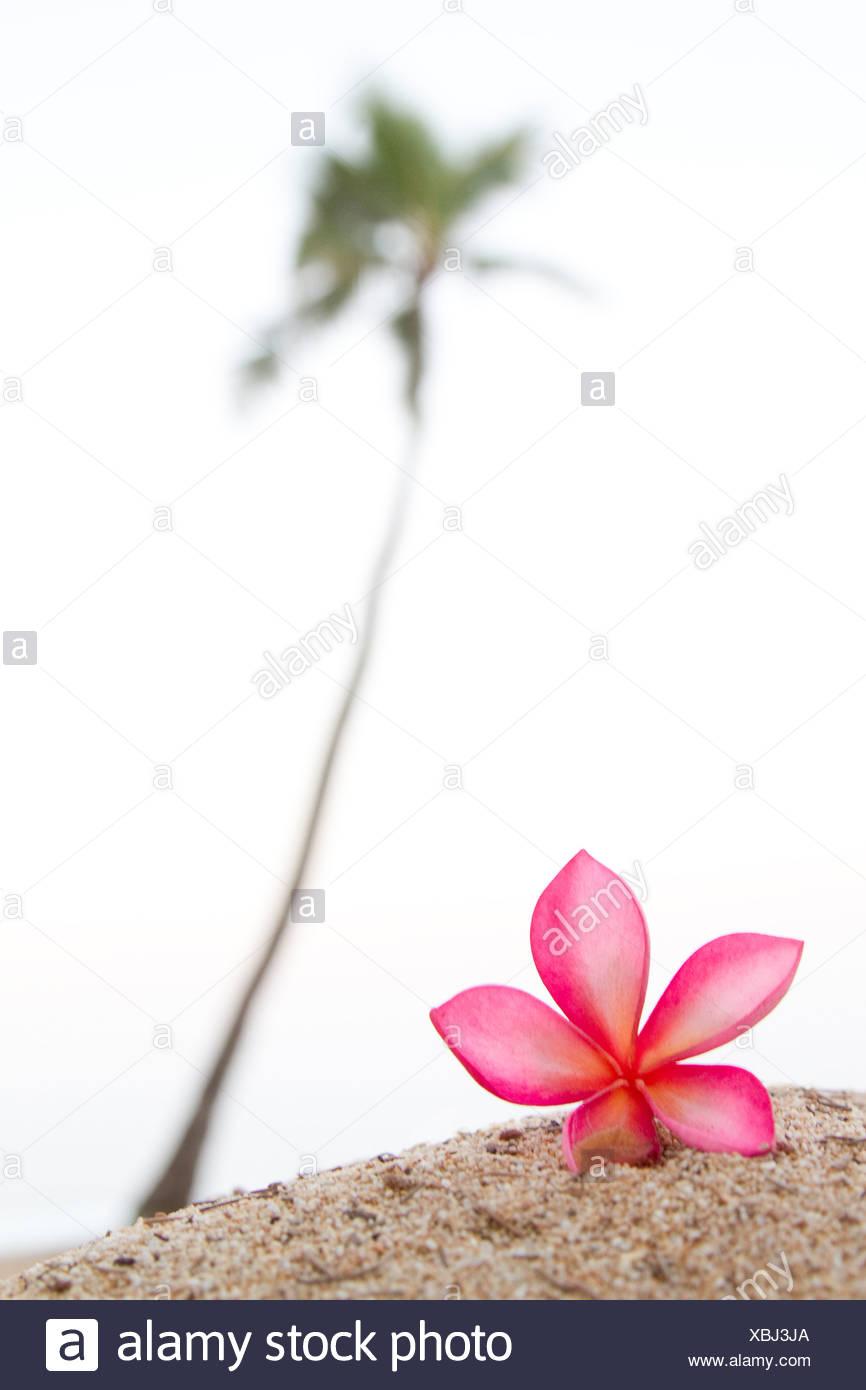 A pink plumeria flower near a lone palm tree in hawaii stock photo a pink plumeria flower near a lone palm tree in hawaii stock photo 282525106 alamy mightylinksfo Choice Image