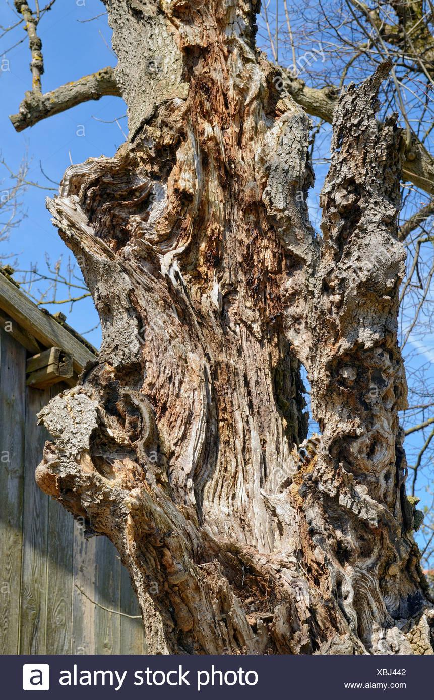 Dead ash tree (Fraxinus excelsior), trunk, Miesbach, Upper Bavaria, Bavaria - Stock Image