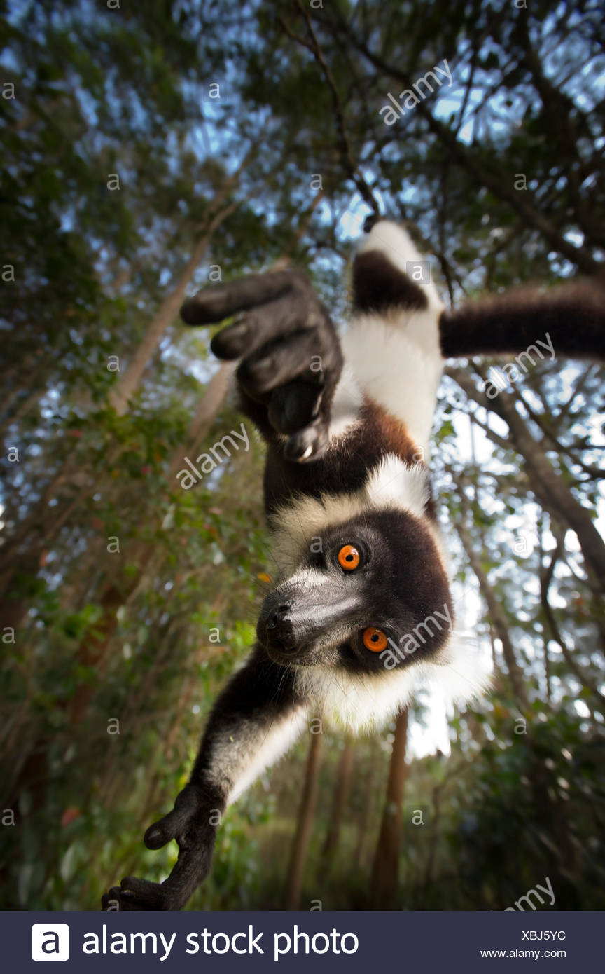 Black and white ruffed lemur (Varecia variegata) hanging from tree, Madagascar, critically endangered - Stock Image