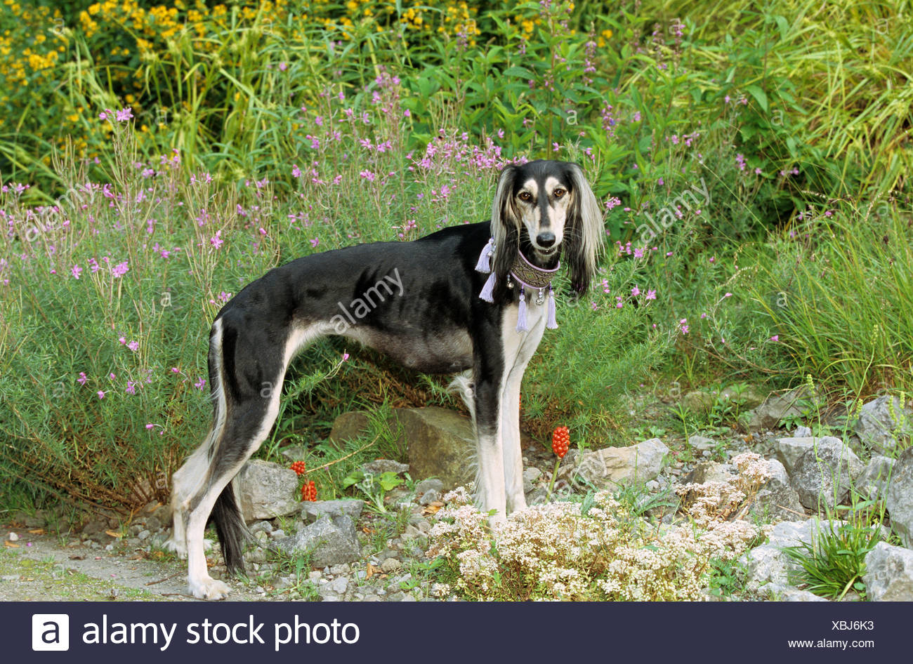 Saluki dog - standing in front of flowers Stock Photo