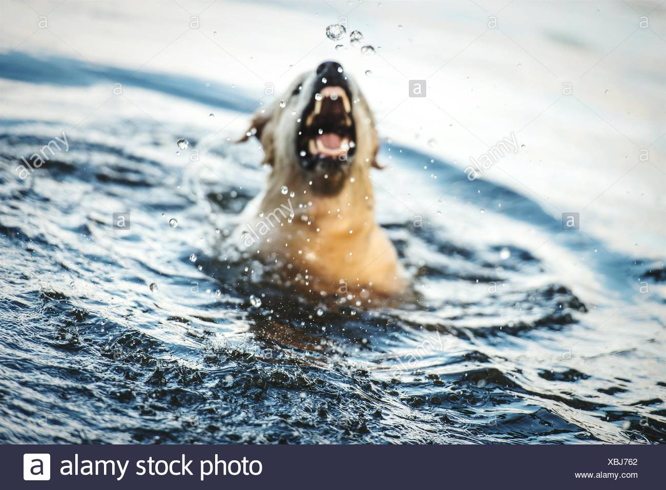 Dog Swimming In River - Stock Image