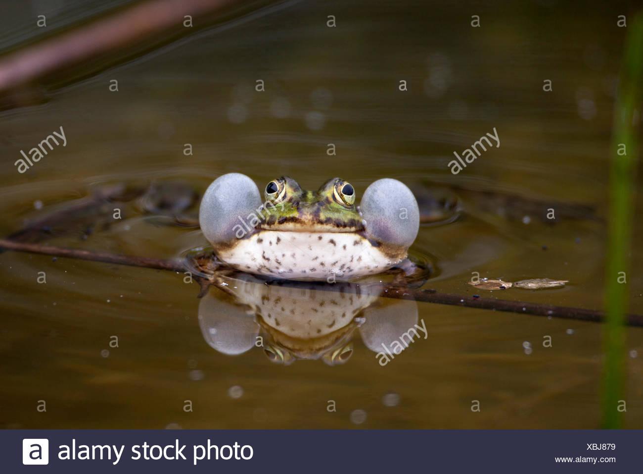 Frog, edible frog, common frog or green frog (Rana esculenta), with vocal sacs, Kirchheim unter Teck, Baden-Württemberg - Stock Image