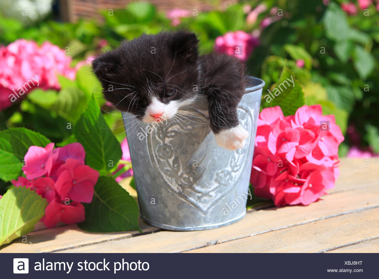 3 weeks, flower, flowers, garden, house, home, Animal, domestic animal, pet, young, cat, jug, kitten, vase, outdoors, outside, o - Stock Image