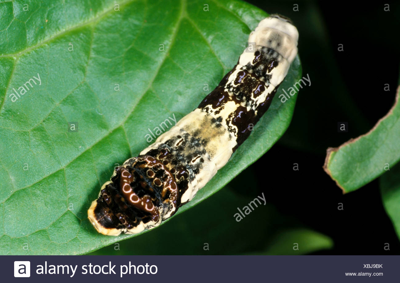 Papilio cresphontes butterfly caterpillar resembles bird droppings - Stock Image