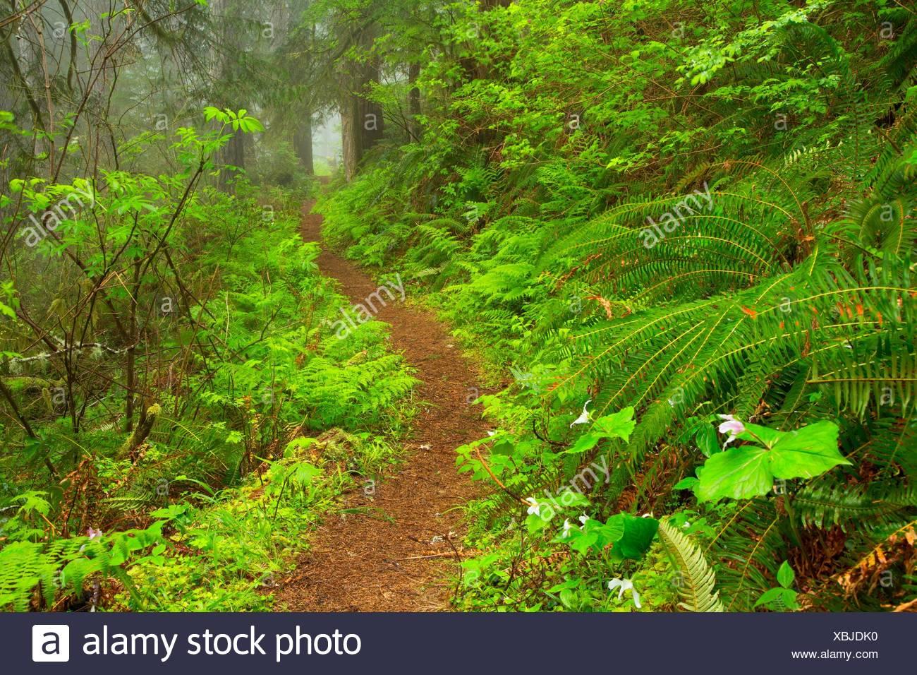 Harris Ranch Trail, Drift Creek Wilderness, Siuslaw National Forest, Oregon. - Stock Image