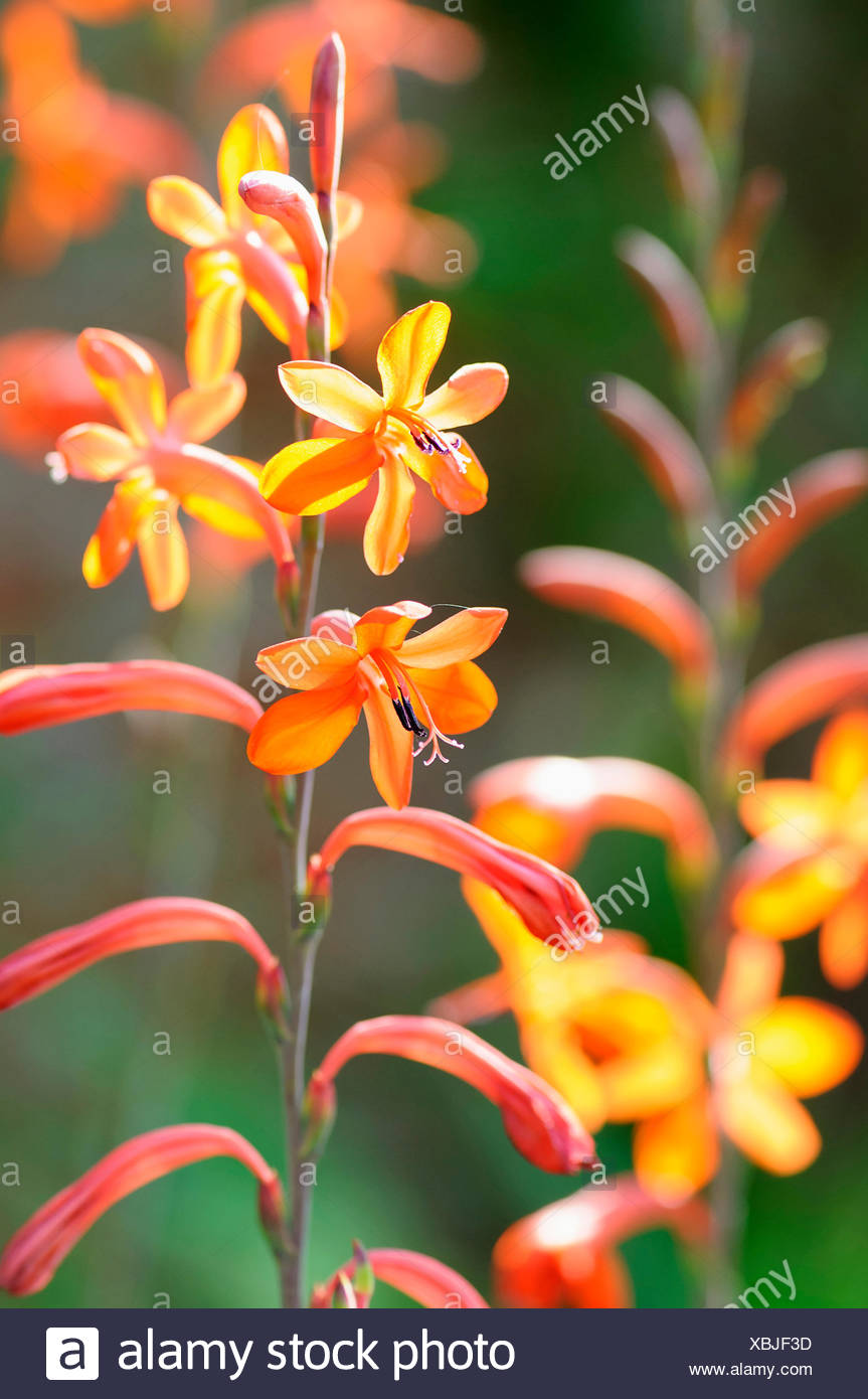 Orange Watsonia High Resolution Stock Photography and Images   Alamy