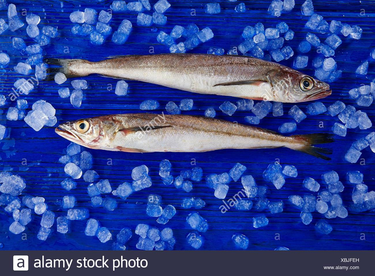 Hake fish on ice side view and blue table. - Stock Image