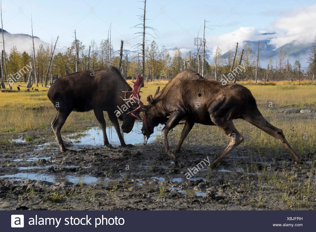 Bull moose (alces alces) just coming out of shedding its velvet and antlers look a little red, captive at Alaska Wildlife Conservation Centre - Stock Image
