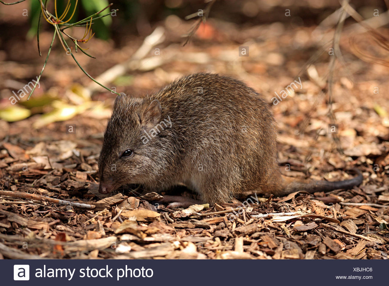 Long nosed Potoroo, adult foraging, South Australia, Australia / (Potorous tridactylus) - Stock Image