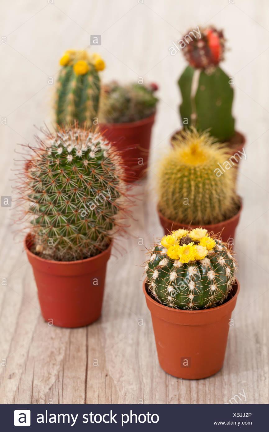 botany, cactus, maddening, pert, coquettish, cute, garden, botany, thorns, - Stock Image