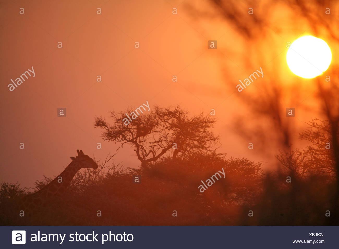 Namibia Africa Giraffe Giraffa camelopardalis Etosha national park Summer 2007 Africa savannah sunset sunris - Stock Image