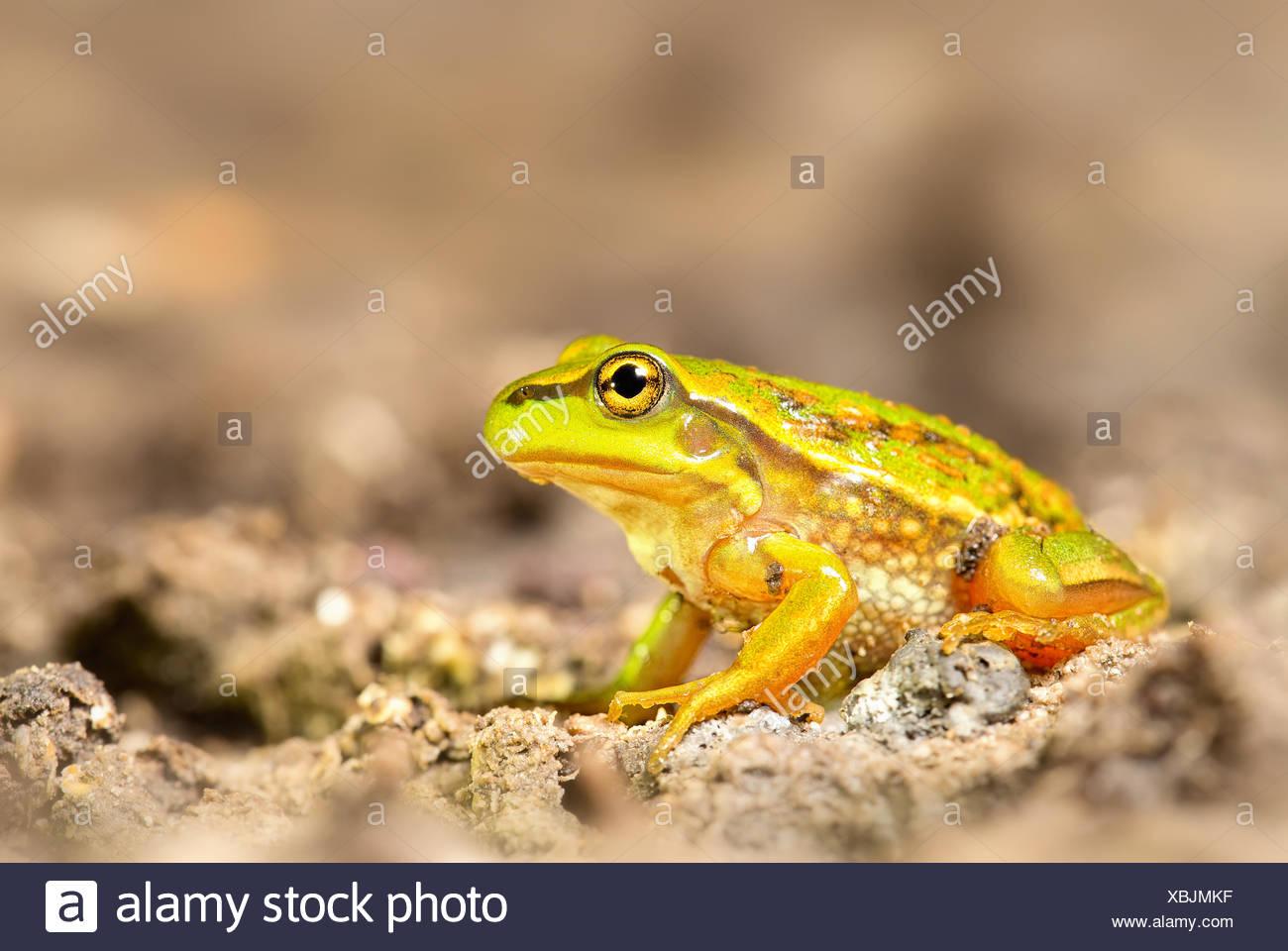 Australia, Victoria, Growling grass frog sitting on dirt - Stock Image