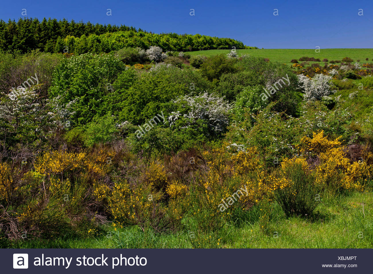 Scotch broom (Cytisus scoparius, Sarothamnus scoparius), blooming scotch brooms and blackthorns on Dreiborn Plateau, Germany, North Rhine-Westphalia, Eifel National Park - Stock Image