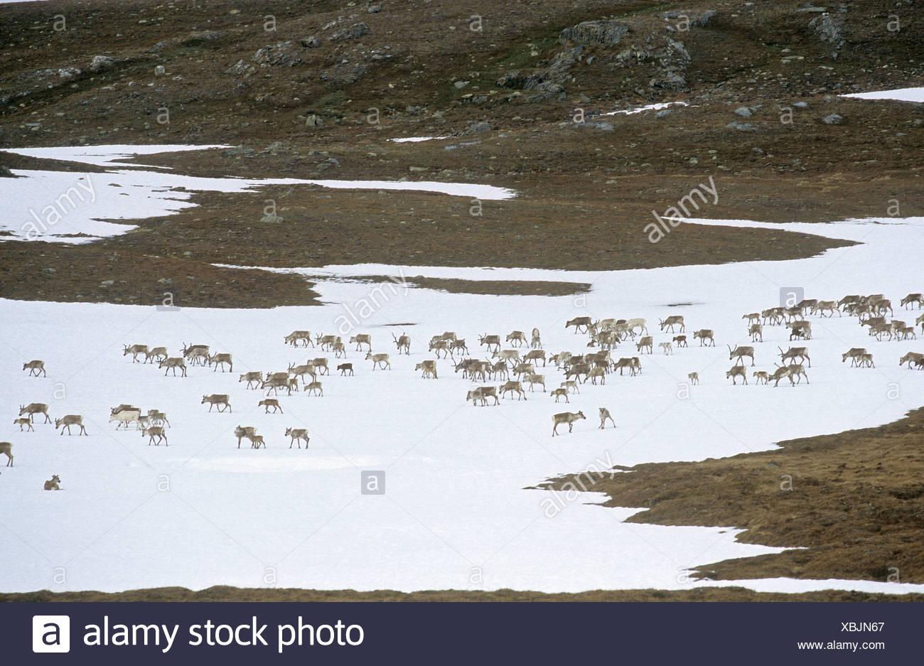 Reindeers on snowfield / Rangifer tarandus - Stock Image