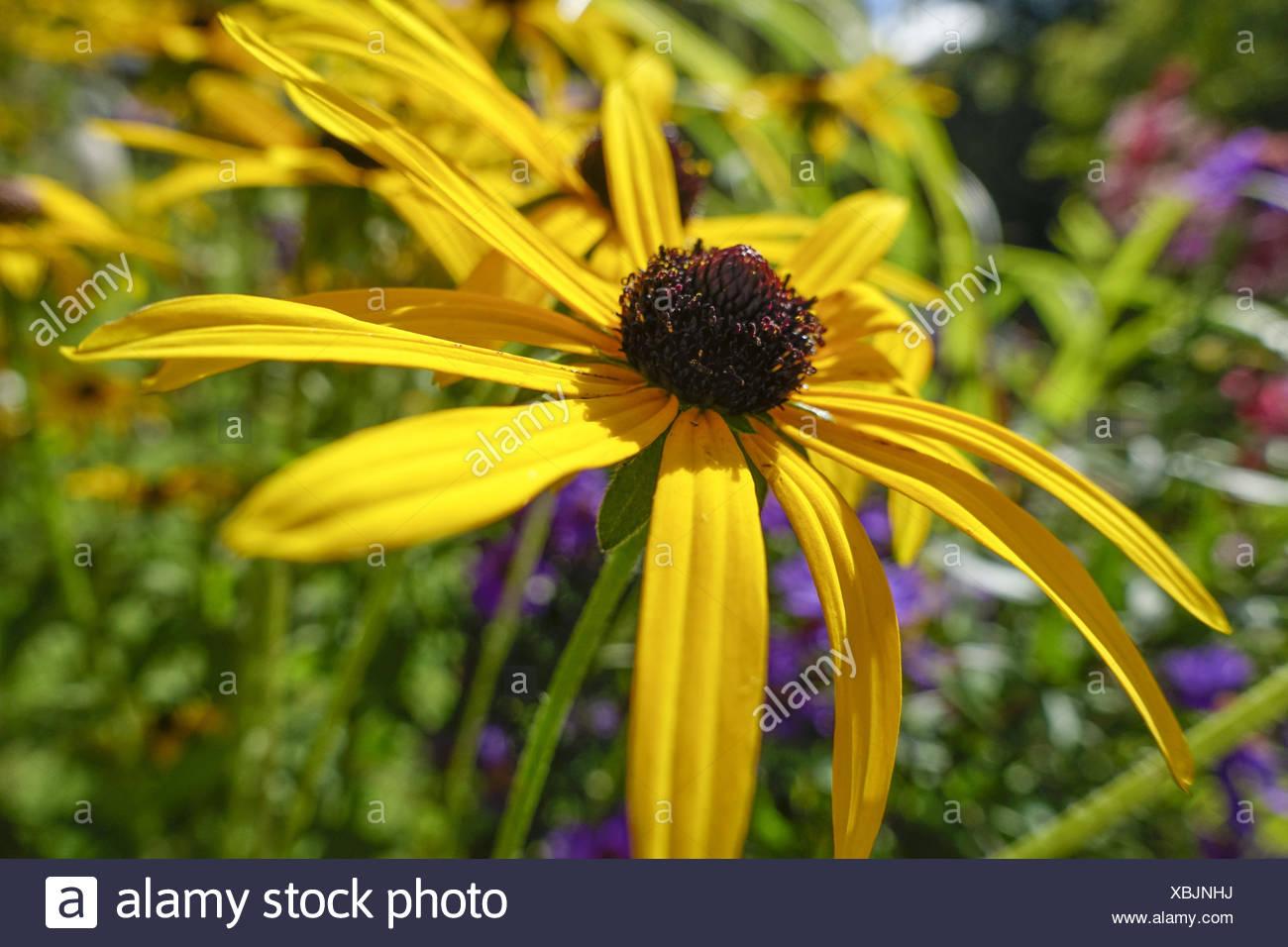 Garten-Sonnenhut (Rudbeckia fulgida var deamii), Goldsturm flower (Rudbeckia fulgida var deamii), asteraceae, background, black, - Stock Image