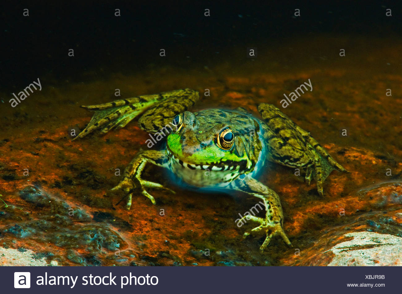 Close-up of green frog (Rana clamitans) at edge of pond, Killarney Provincial Park, Ontario, Canada - Stock Image