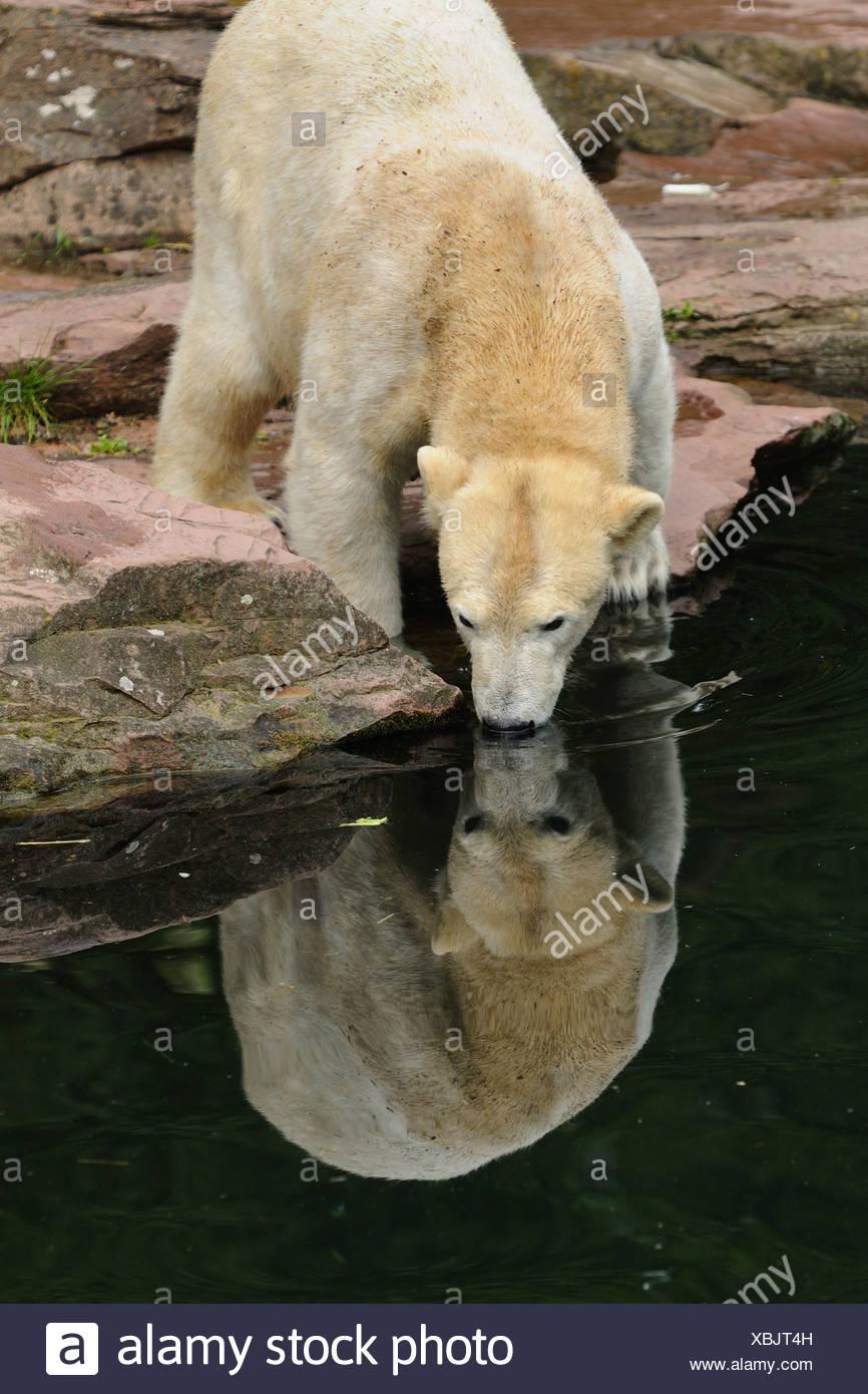 polar bear (Ursus maritimus), pup in a zoo - Stock Image