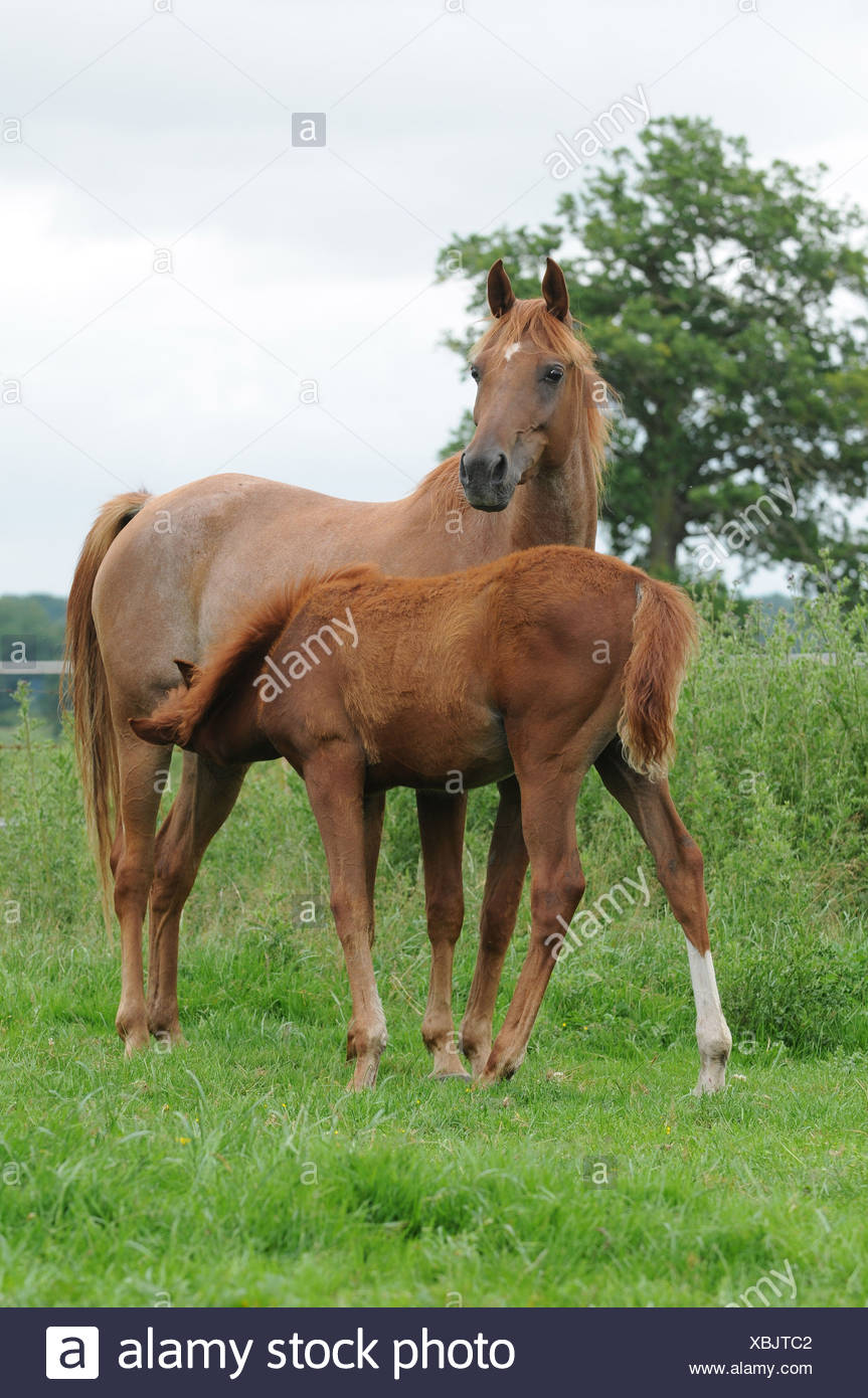 Arabian Horses Stock Photo Alamy