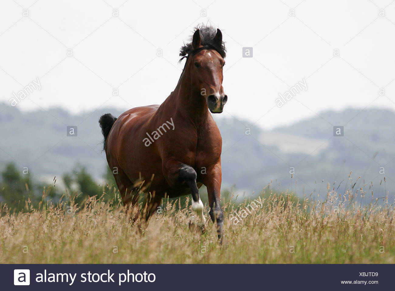 renneder Lusitano / running lustiano - Stock Image