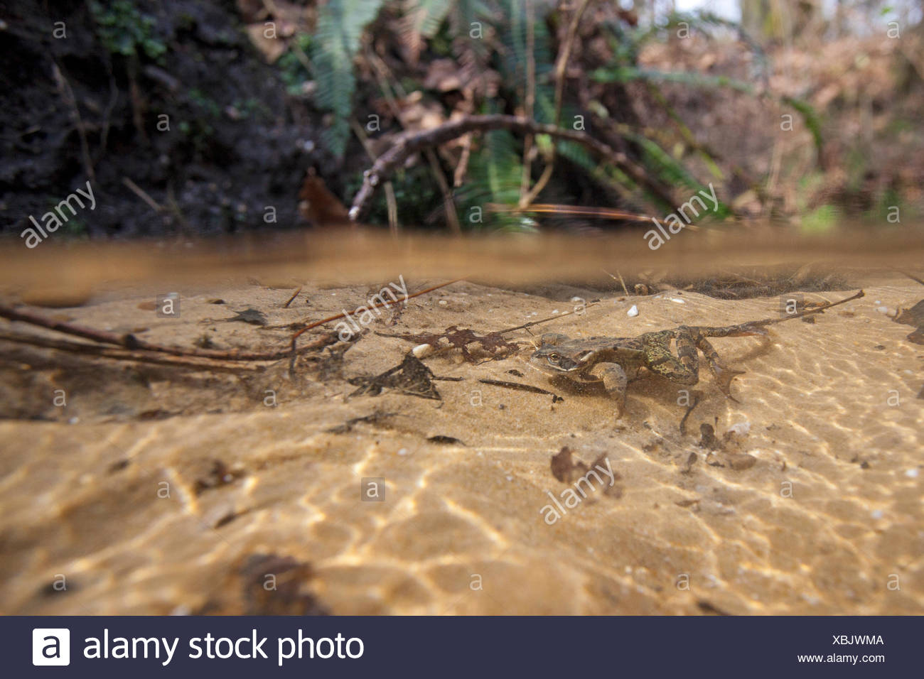 photo of a common frog swimming underwater in a stream - Stock Image