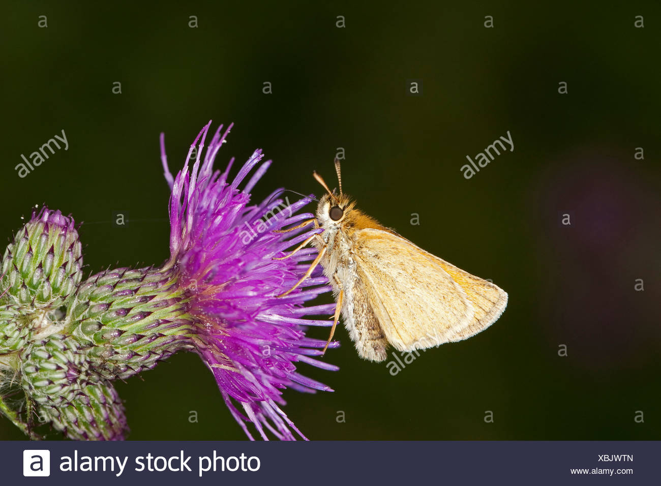small skipper (Thymelicus sylvestris, Thymelicus flavus), on a thistle, Germany Stock Photo
