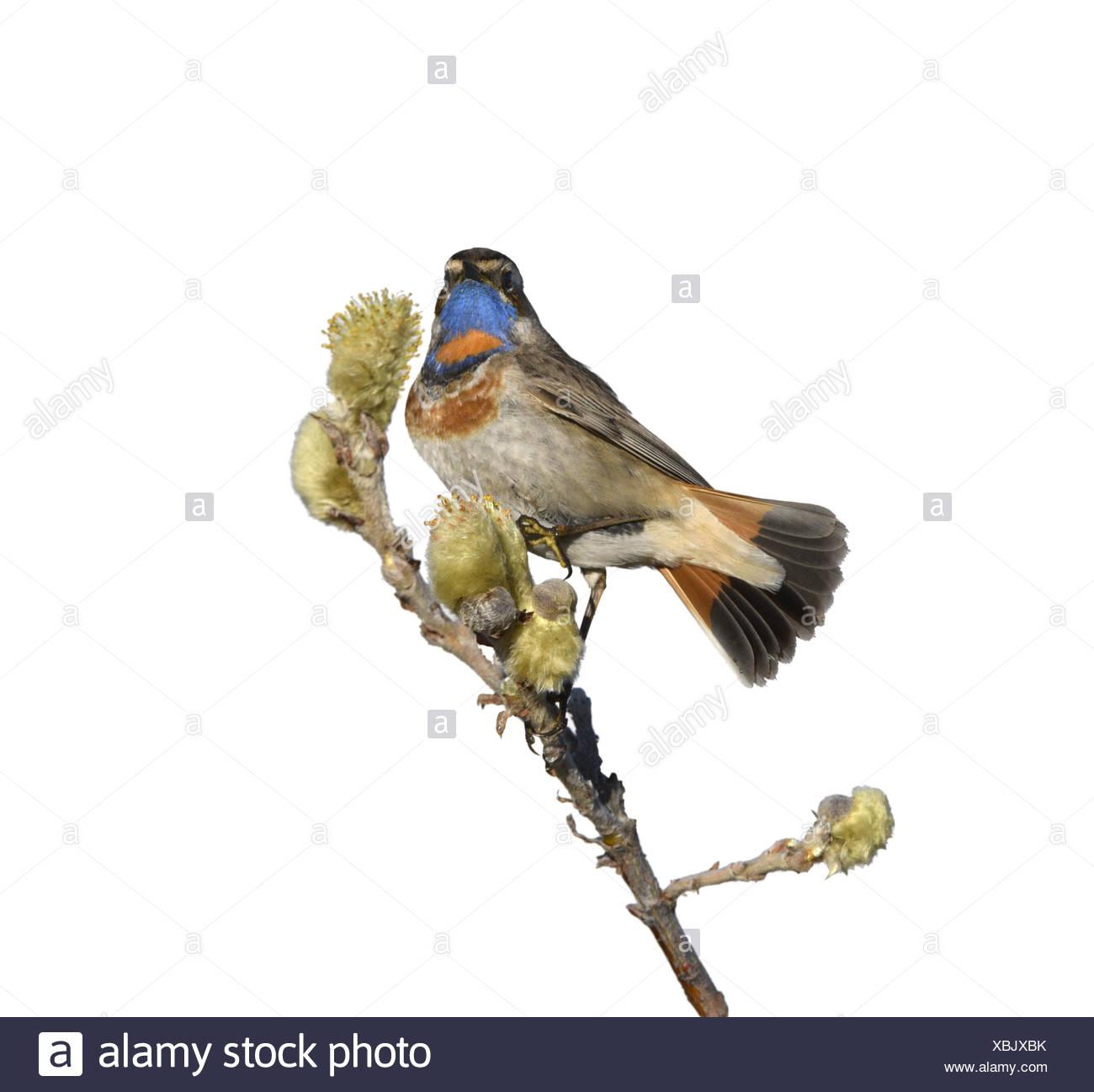 Bluethroat - Luscinia svecica - Stock Image