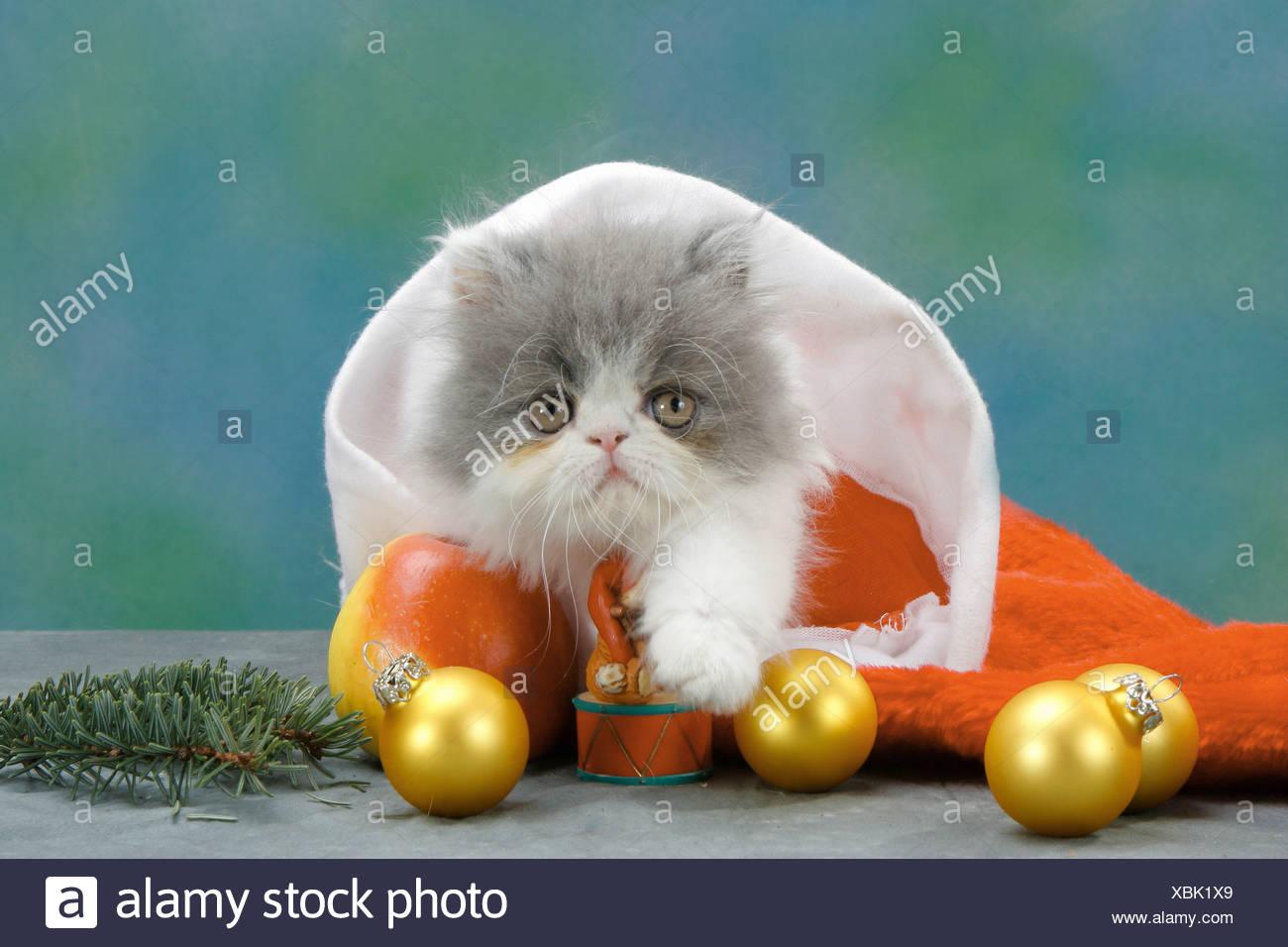 Persian kitten in santa claus cap - Stock Image