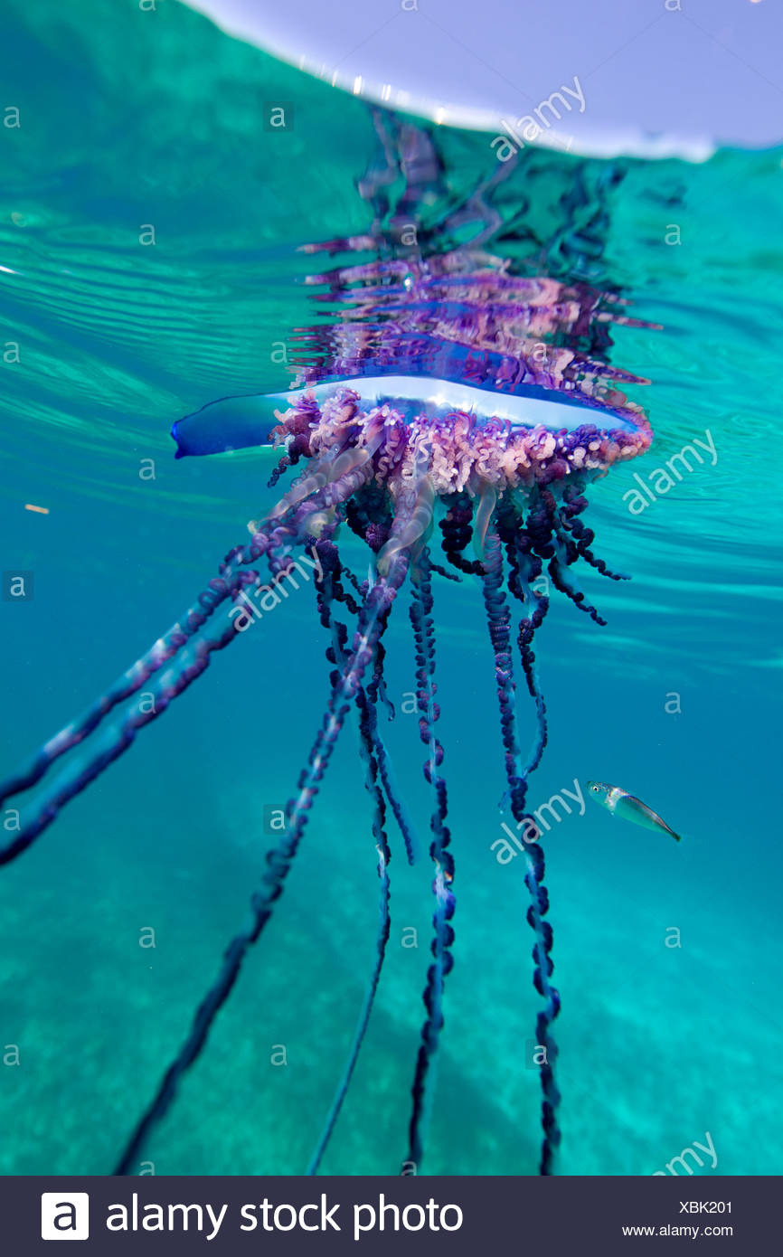 Over/under view of a Portuguese Man of War, a jelly-like marine invertebrate of the Family Physallidae. Stock Photo
