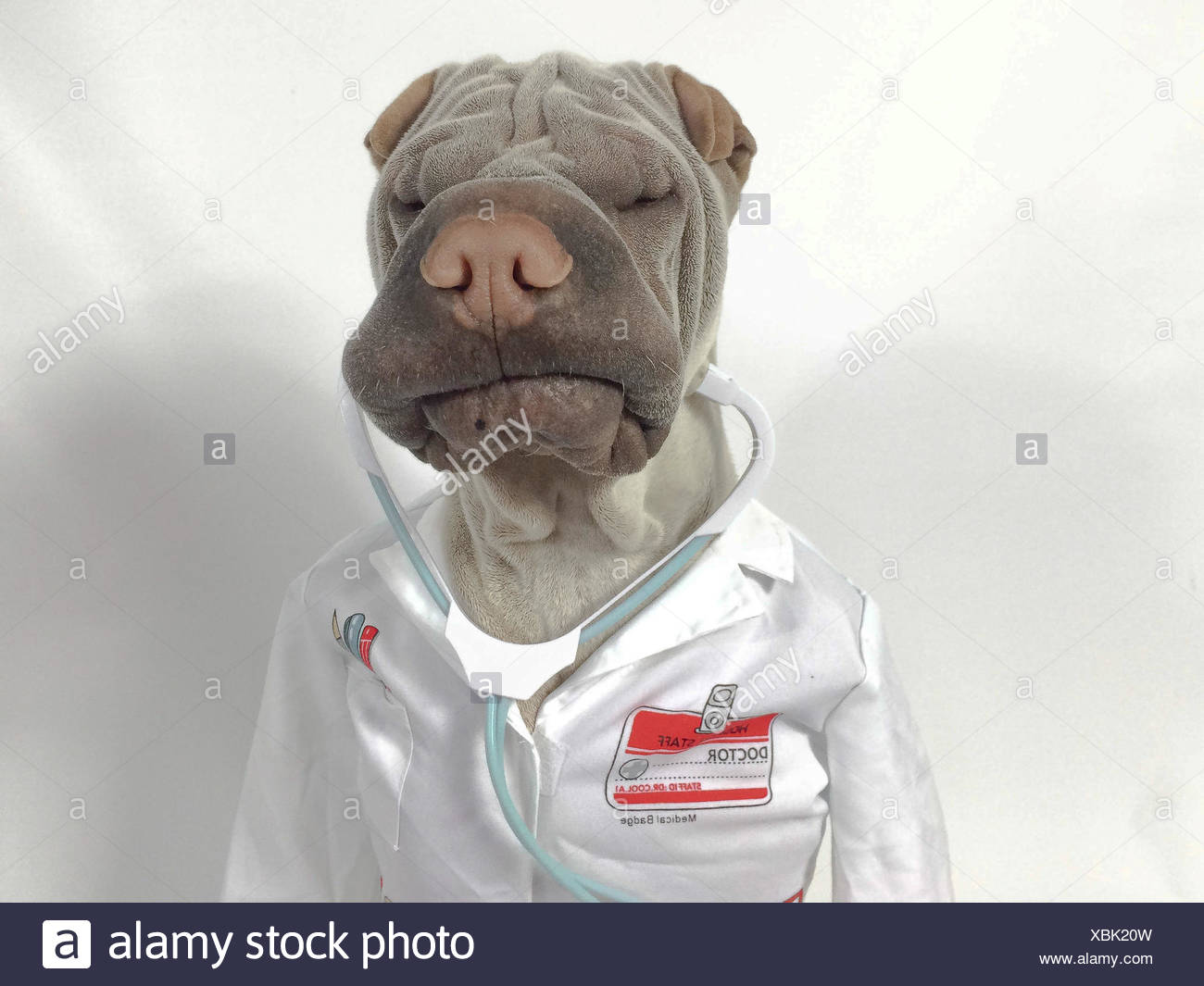 Shar pei dressed up as doctor - Stock Image