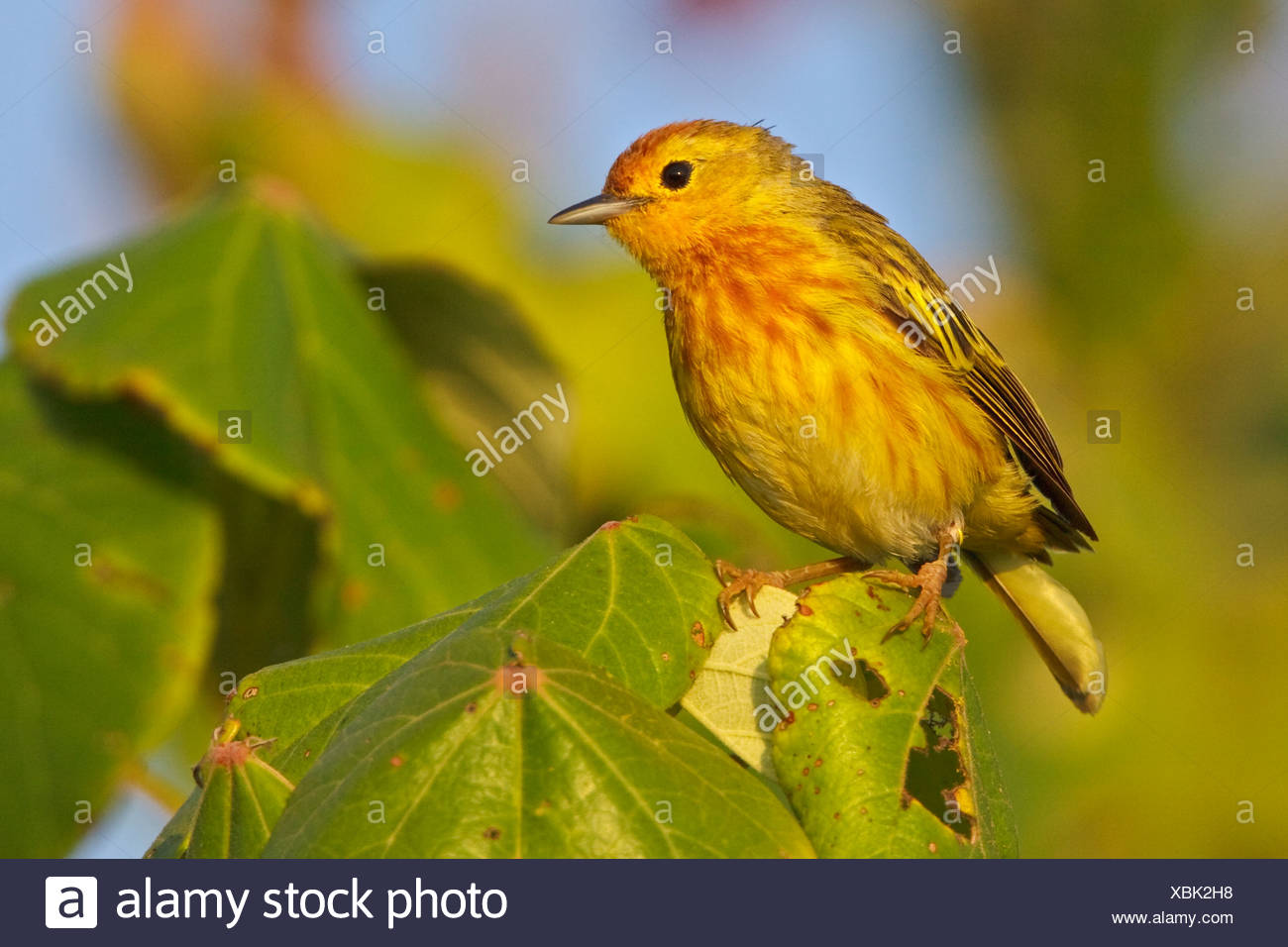 Mangrove Warbler (Dendroica petechia) perched on a branch near the coast of Ecuador. - Stock Image