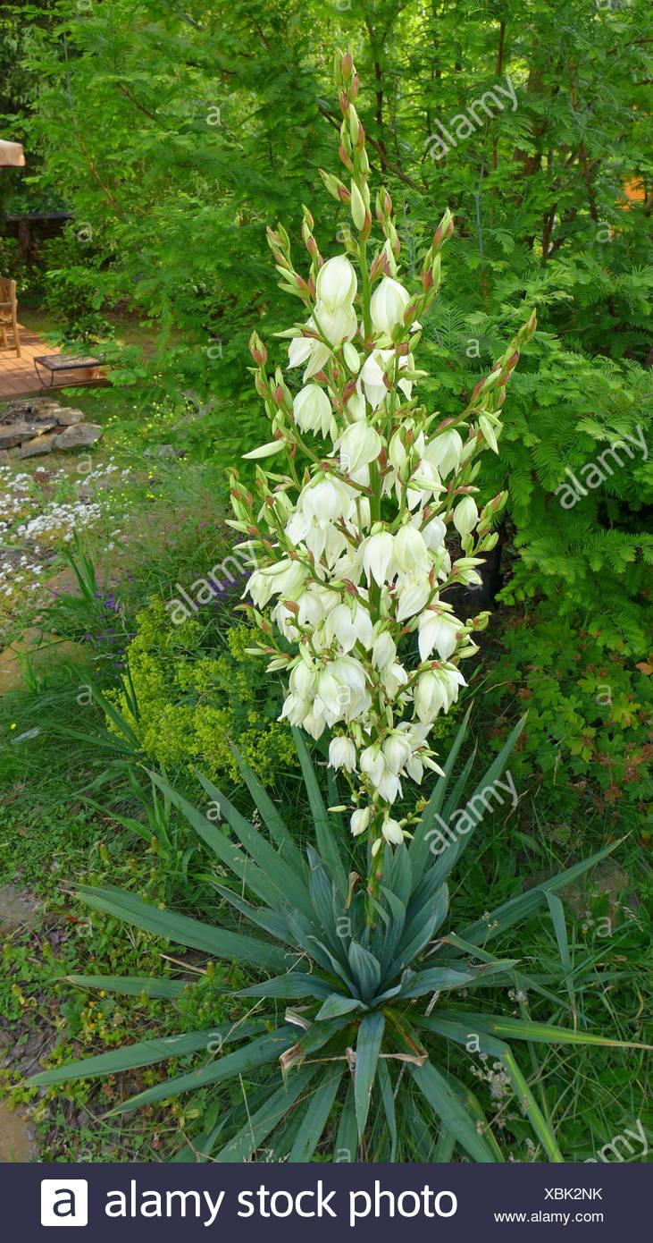 Adam S Needle Weak Leaf Yucca Yucca Filamentosa Blooming Stock Photo Alamy