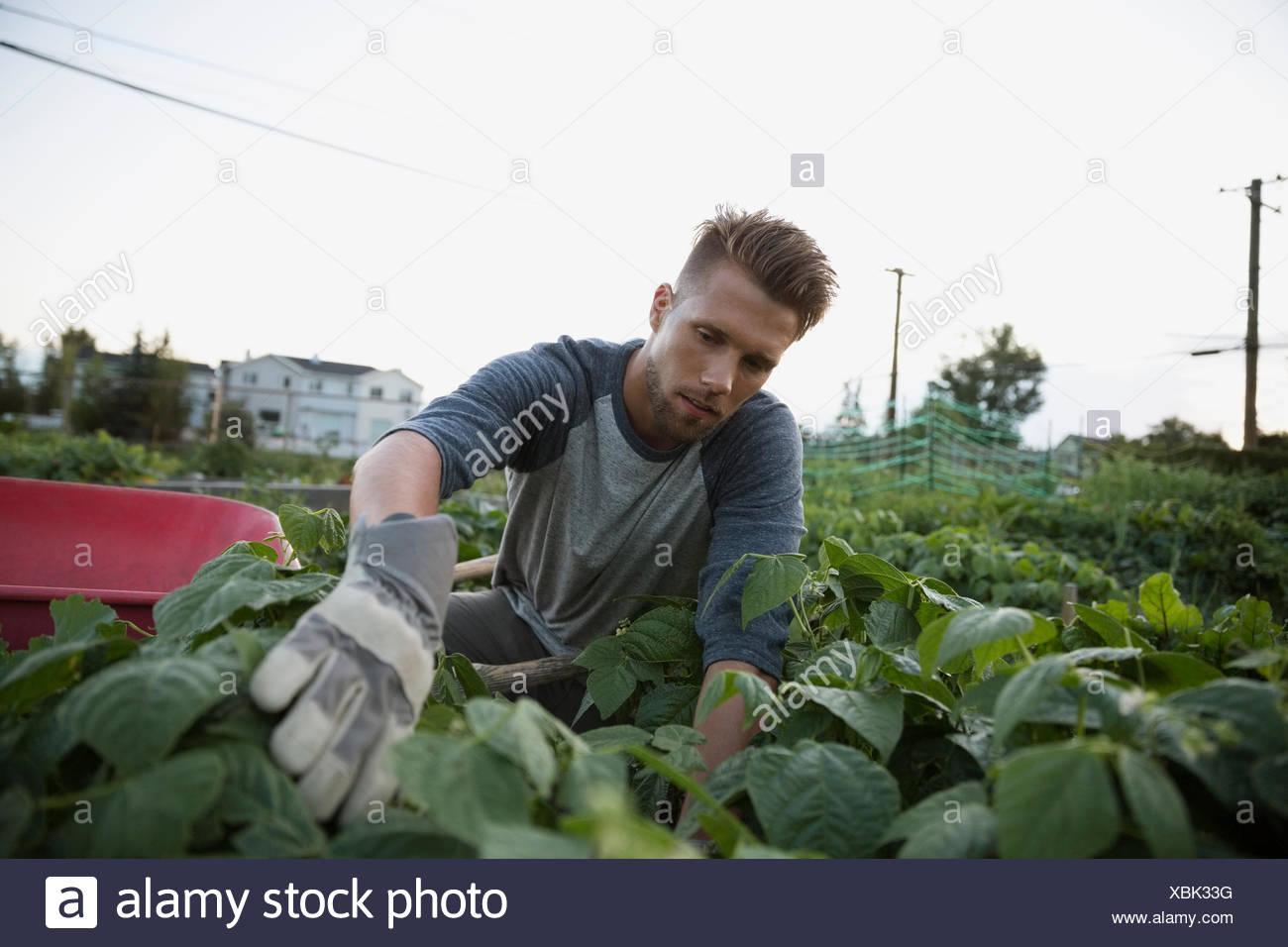 Man tending to plants in garden - Stock Image